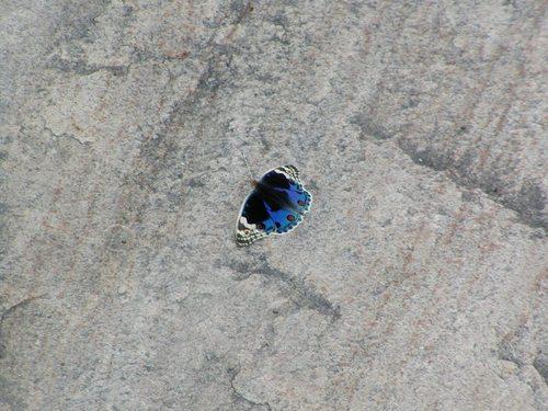 インドの蝶
